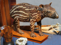 Tapir (taxidermy)