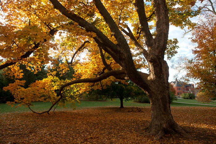 Golden tree drops its leaves on central campus