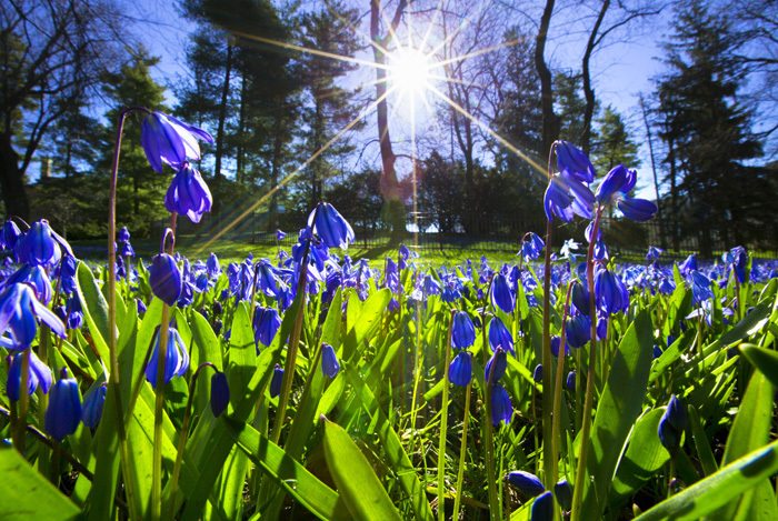 Purple Siberian squill in the morning sunlight