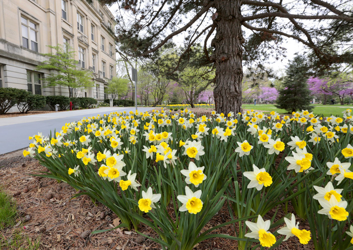 Small field of yellow and white daffodils near Beardshear Hall
