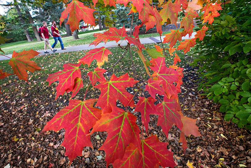 Two male students walk near bright red maple leaves