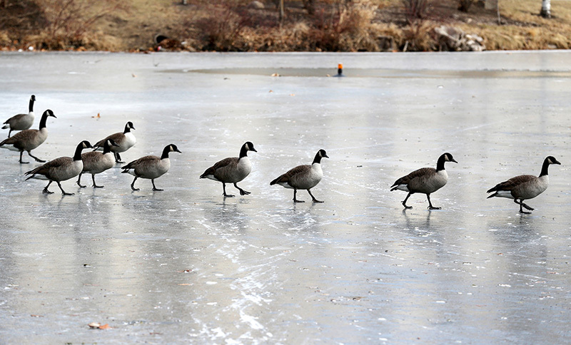 Canada geese plod across the lake ice