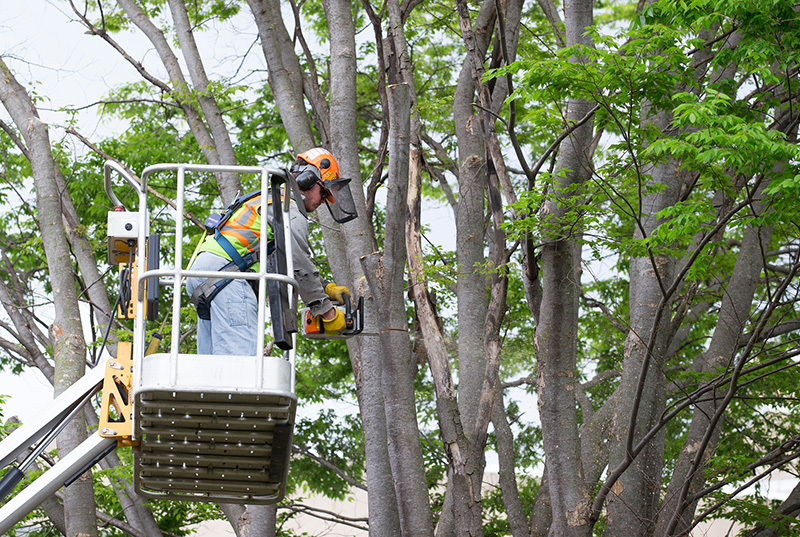 worker with chainsaw removes branches from a tree