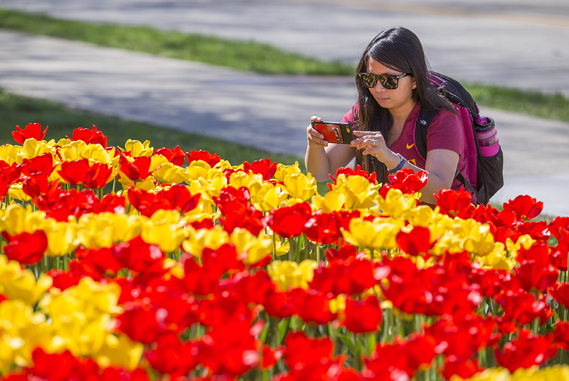 Female student photographs red and yellow tulip bed