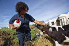 Claudia Deleon, sophomore in animal science, greets a dairy calf