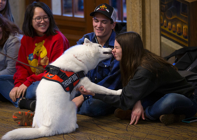 white Siberian husky therapy dog licks face of female student