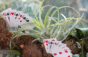 Playing cards among orchid plants