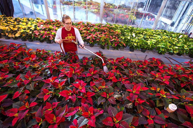 Student watering poinsettias in greenhouse