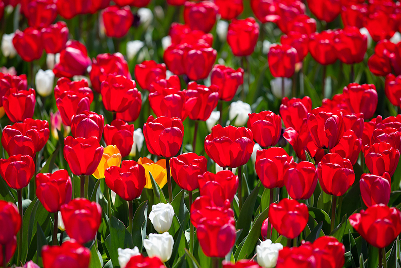 Cropped shot of red tulips at Reiman Gardens