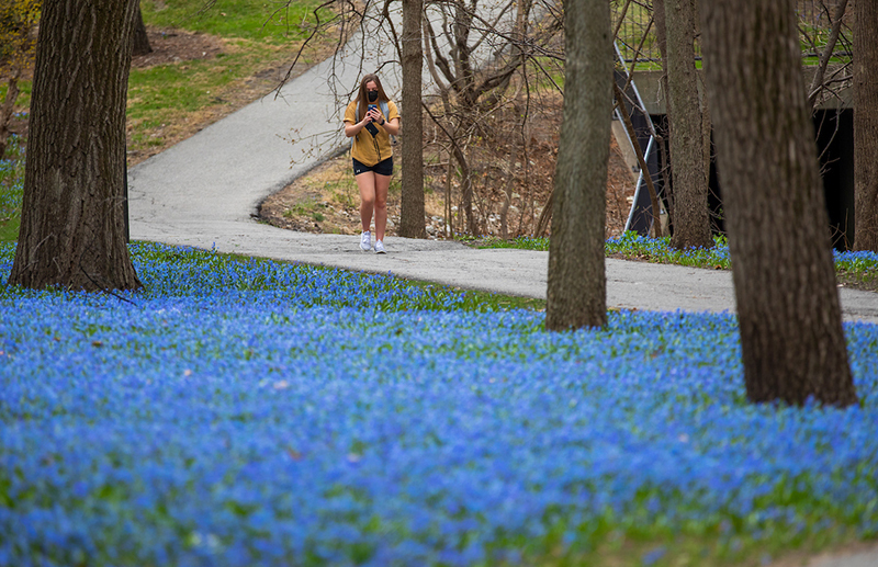 Grace Hatchitt enjoys her walk near blooming Siberian squill