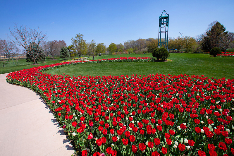 Reiman Gardens sidewalk lined with red tulip bed